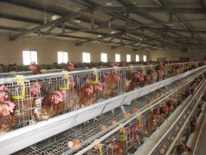 layer_cage_automatic_chicken_cage_poultry_equipment_634556729193352035_5 - Copy