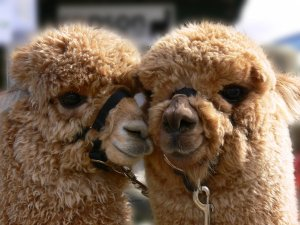 Super_Cute_Alpacas_by_np4444