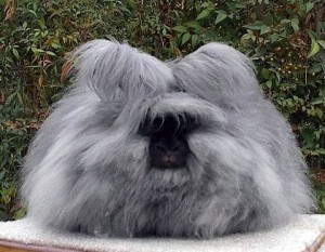 English-Angora-Rabbit-Breed