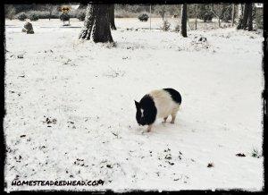 SnowPig2