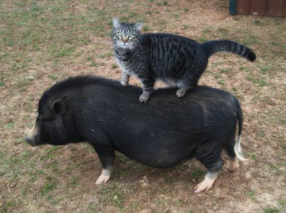 pigcat